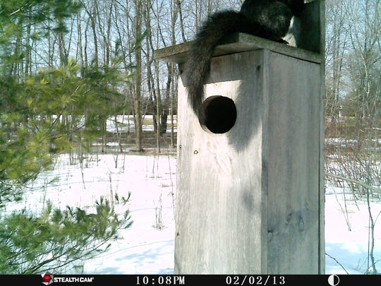 This black squirrel is caught playing on the top of the wood duck house occupied by a screech owl. He wouldn't hang his tail down like this if he knew what was living inside the house.