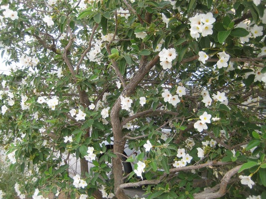 Desert Plant Not Used Nearly Enough Is The Genus Cordia