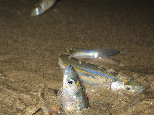 A grunion couple on the beach.
