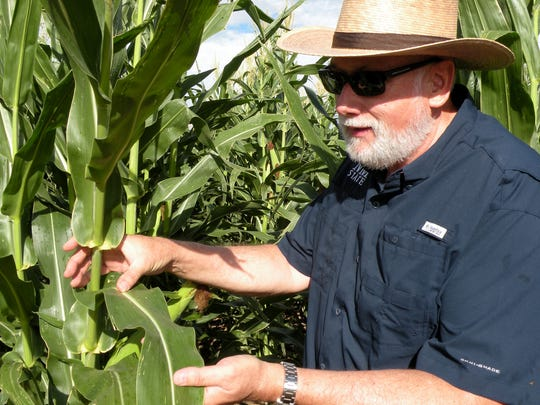 Rich Pratt, director of the New Mexico State University Cropping Systems Research Innovation Program, inspects leaves on the corn crop at the NMSU Student Research and Education Gardens. Pratt was recently selected at as the prestigious Crop Science Society of America Fellow, the highest recognition bestowed by the CSSA.