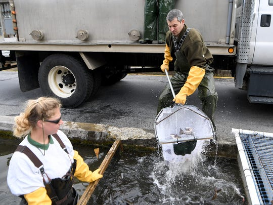 Jillian Osborne, left, and Matt Peckham, pull trout from tanks and load them into a North Carolina Wildlife Resources Commission truck to prepare them for transport at the Bobby N. Setzer State Fish Hatchery in the Pisgah National Forest on Wednesday, March 21, 2018.