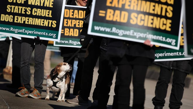 In 2013, Blu, a rescued Beagle Basset and 60 people protest the use of dogs in heart failure experiments at Wayne State University in Detroit.