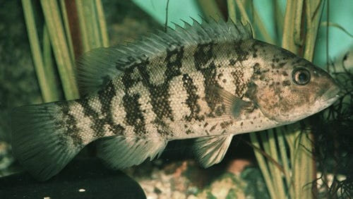 Tautog fishing will soon be at its peak in the mid-Atlantic region.