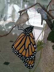 A monarch butterfly emerging from its chrysalis.