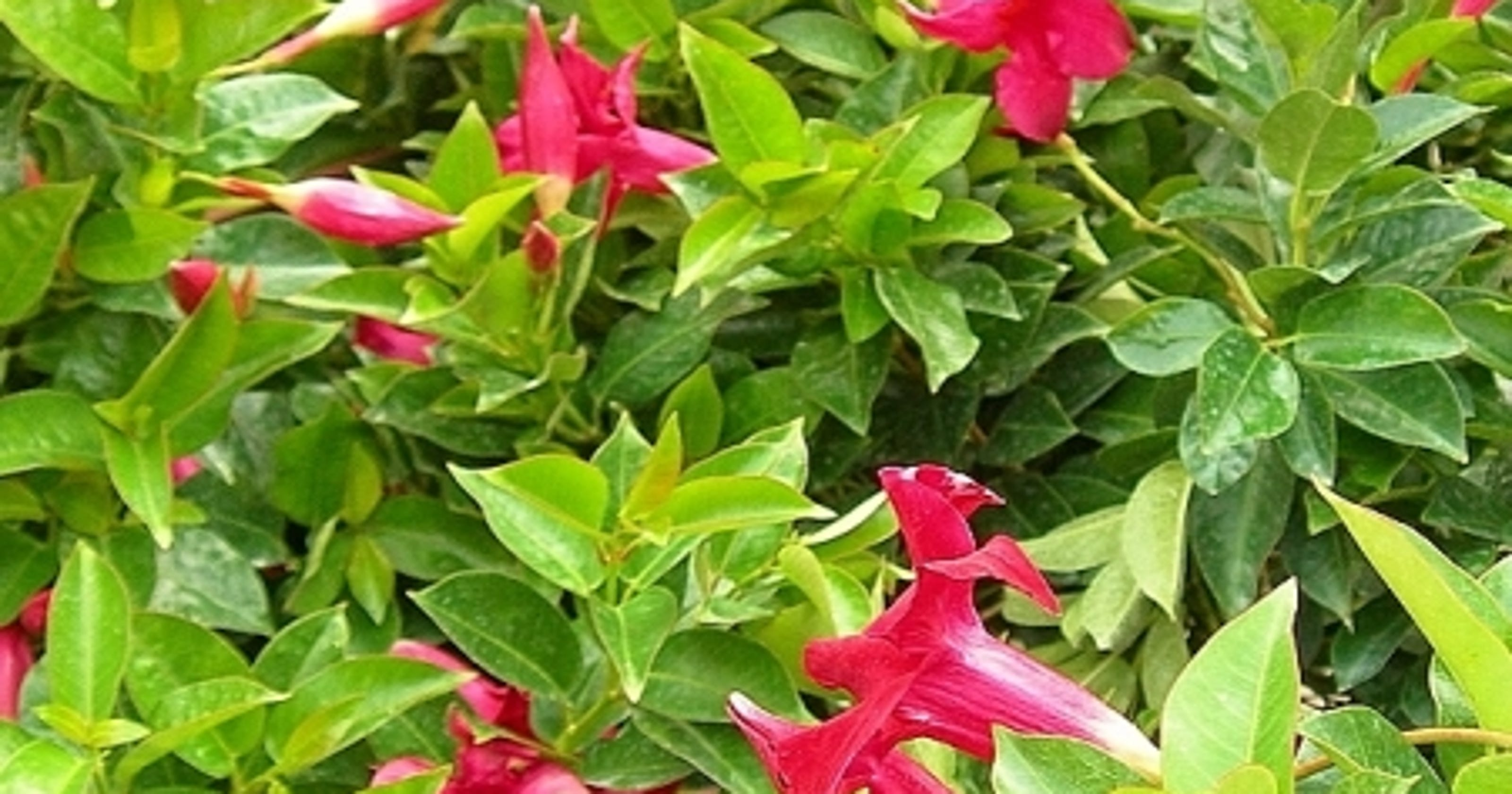 How Much Light Do Mandevilla And Creeper Vines Need