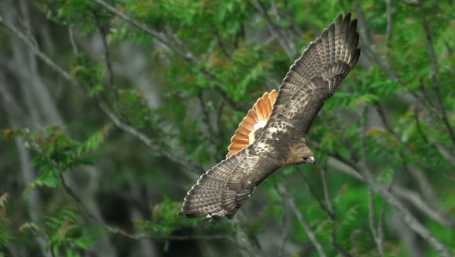 A red-tailed hawk soars over Quarry Lake at Fort Dickerson Park in South Knoxville.