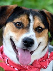 Bell, a 1-year-old beagle/terrier mix female, is a bit shy at first but then wants to crawl up in your lap for love.