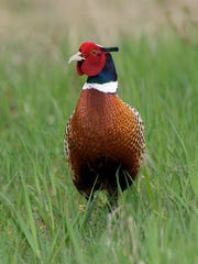 Ring-necked pheasants need grasslands for feeding,
