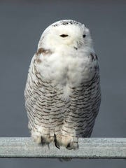 A snowy owl perches along Highway 49 on the north end