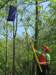 Purple traps are covered in an alluring oil and sticky glue to capture emerald ash borer for monitoring purposes.