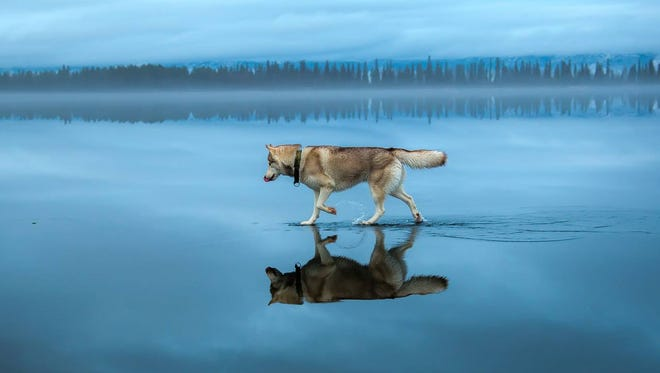 This husky isn't really walking on water, but still looks amazing.