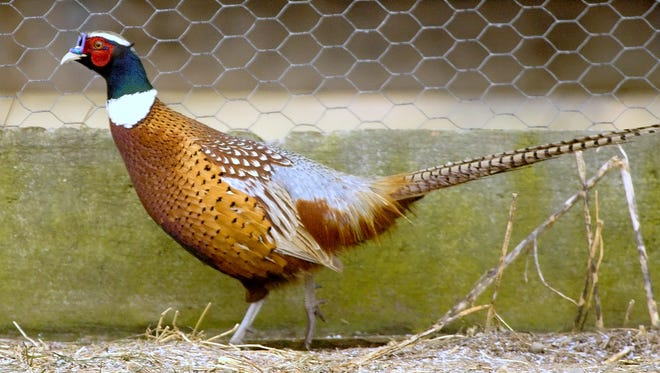 A pheasant rooster struts around a pen at the Reynolds Game Farm in Ithaca.