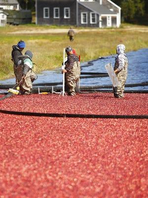 Bog workers move crimson berries over the flooded bog.  Crimson harvest, workers at the Federal Furnace Cranberry Co. in Carver harvest ripe cranberries on Monday September 21, 2020  Greg Derr/ The Patriot Ledger