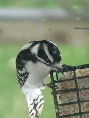 A downy woodpecker dines from a suet feeder. Programs
