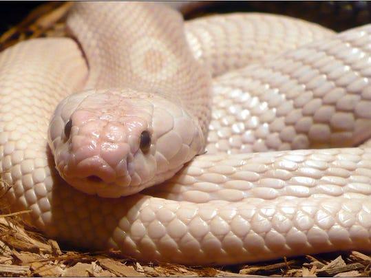 Albino_Monocled_Cobra1920x1200.jpg