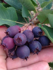 Saskatoon berries are known for their ability to grow in harsh climates and unfavorable soil conditions.