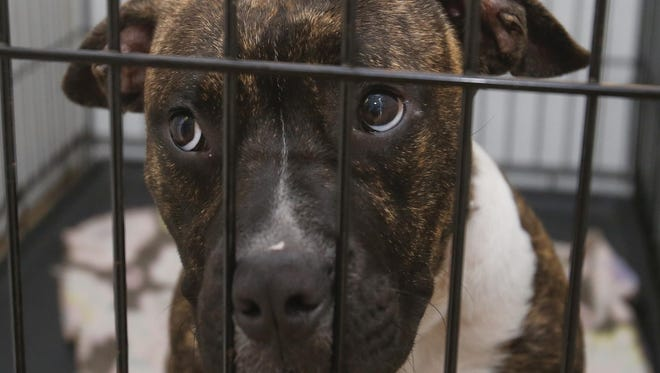 Kirk a pit bull mix eligible for adoption, peers from his cage at the Response-a-Bull Rescue and Shelter last month.