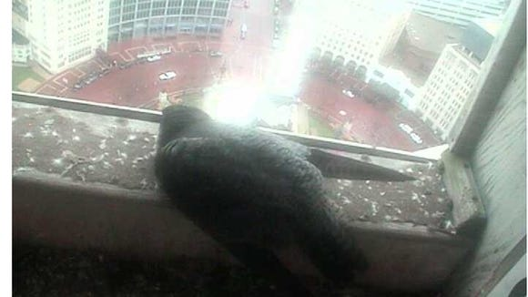 Matriarch KathyQ visits the nest box over Monument Circle.