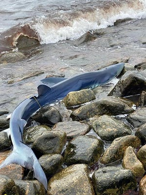 A blue shark is stranded on rocks at Little Compton's shoreline on Saturday. An Environmental Police rescue swimmer and patrol boat were able to assist the shark back to deeper water.