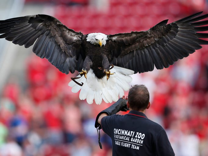 Sam, the Cincinnati Zoo and Botanical Garden's bald eagle, takes off from center and lands around second base after the National Anthem prior to the Reds-Giants  game at Great American Ball Park.