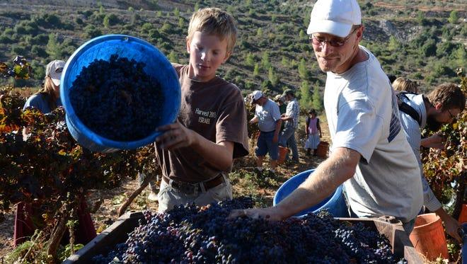 American evangelicals harvest grapes for Israeli settlers in Dolev.