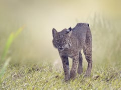 If you thought bobcat hunting had died, a new bill in legislature tried to revive it