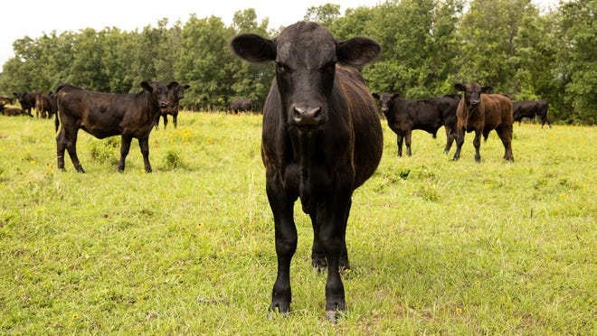 """Spring calves graze in Johnson County. Arkansas researchers have shown that consumers experience no tangible differences between steaks from conventionally grown commodity beef cattle and those from branded """"naturally grown"""" programs."""
