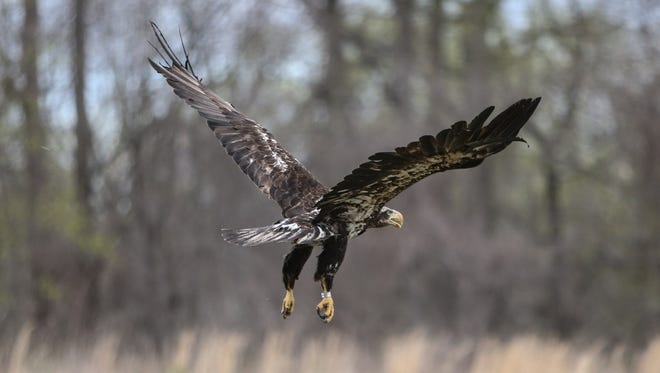 An eagle recovered from a group found in fields near Dagsboro on March 19 has been released Friday after being rehabilitated by Tri-State Bird Rescue and Research Inc.