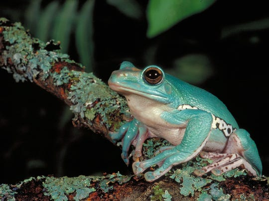 Some frogs blend into their backgrounds, making the exhibit a bit of a treasure hunt. Others are brightly colored, offering the chorus of the title.