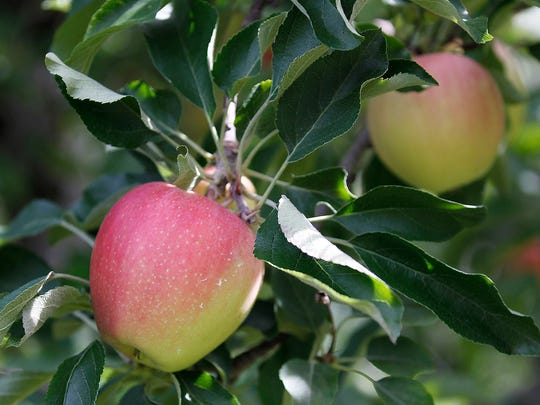 Wisconsin is home to 300 commercial apple orchards.