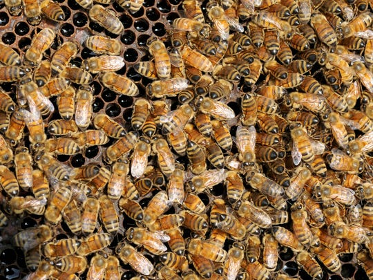 Honeybees gather in 2014 at an Eau Claire, Mich., orchard.