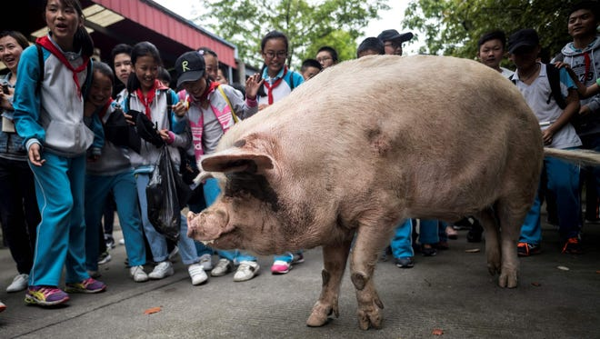 """A pig known as """"Zhu Jianqiang"""", who became a national icon after it survived the devastating earthquake 10 years ago, walks next to schoolchildren at a museum in Anren on April 25, 2018.The pig, known as """"Zhu Jianqiang"""" which means """"Strong Pig"""", shot to fame after he was discovered alive beneath rubble, 36 days after the 7.9-magnitude earthquake struck Sichuan province on May 12, 2008."""