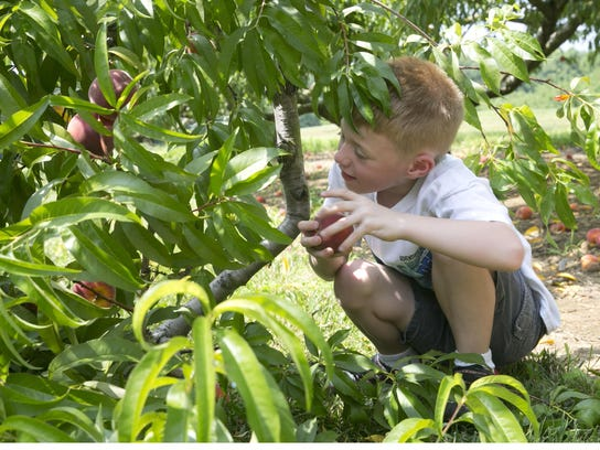 Ryan Sheppard of Wall finds the perfect peach while