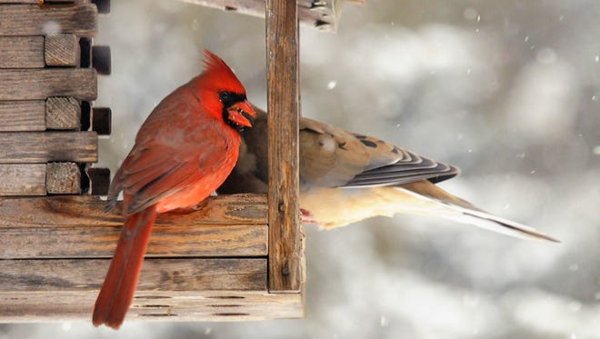 A male cardinal shares a bird feeder with a mourning dove.