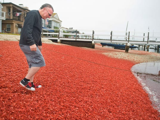 Red Tuna Crabs Invade Southern California Shores