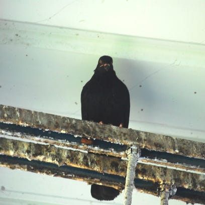 Most Paseo pigeons leave stadium rafters
