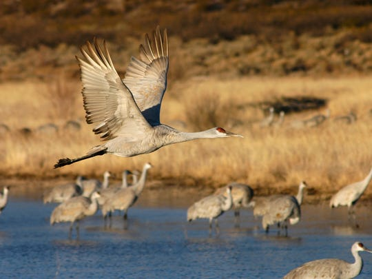 A Sandhill Crane soars above the water at the Bosque Del Apache Wildlife Refuge in New Mexico.