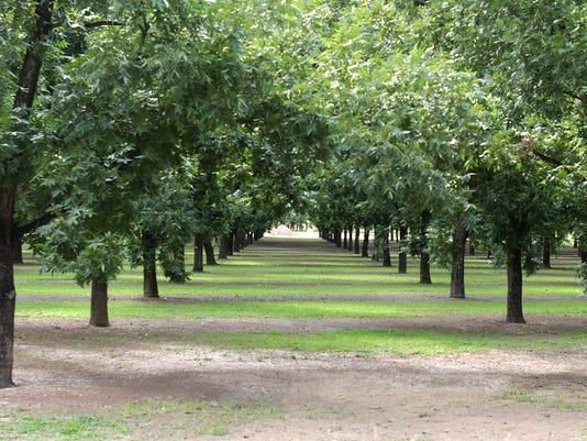 Pecan-orchard.jpg