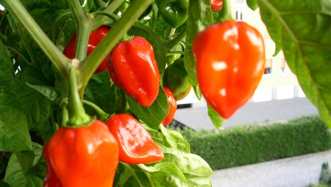 """10. Red Savina Habanero: With 500,000 Scoville units, this pepper was the world's spiciest for a long time before the """"spice wars"""" of the 1990s. Today, it barely makes the top 10!"""