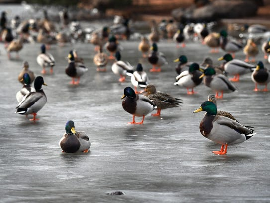 Several of the Mallard ducks at Lucy Park are walking