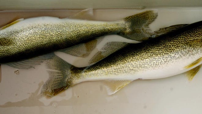 Walleye like these can be caught in Lake Erie, but you might have to have to fish farther off shore as most walleye have shifted to deeper depths.