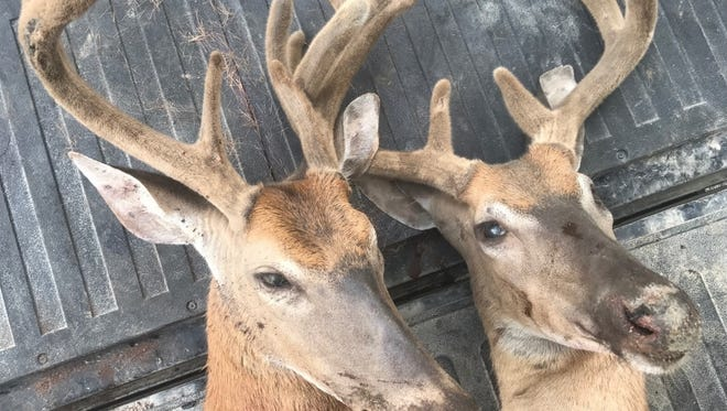 Conservation officers are investigating the poaching of two bucks in Tuscola County