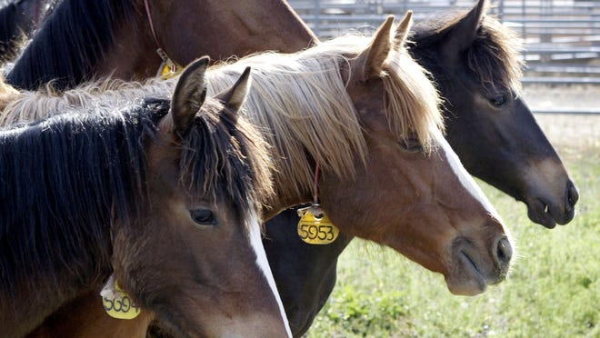 Recent polling shows that 80 percent of Americans oppose killing wild horses and want them humanely managed.