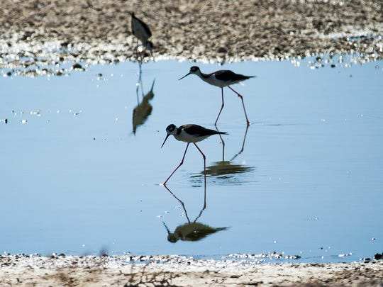 Birds walk in water at the water-treatment plant near