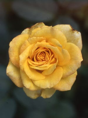 The grandiflora rose Gold Medal dates back to 1981. The medium yellow flowers are tall-stemmed and ideal for flower arrangements.