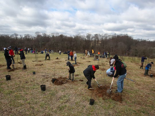 Volunteers plant trees in once-farmed land in the Middle Run Natural Area in an effort organized by the Delaware Nature Society Saturday morning. More than 100 volunteers planted 500 trees, the effort benefiting the riparian buffer for the Middle Run stream.