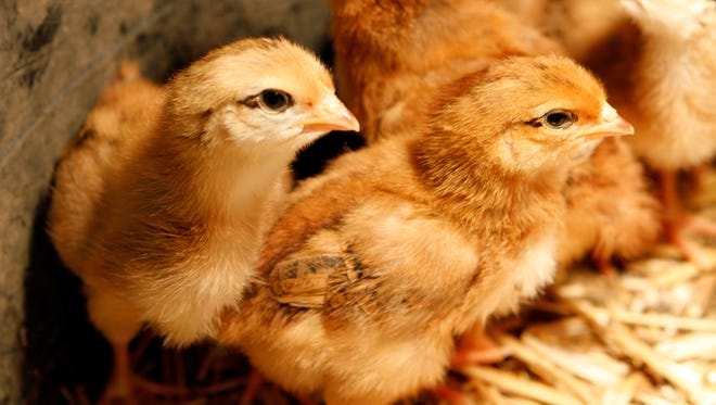 Chickens have six important growth stages, each signals a change in nutrition. Baby chicks from weeks one to four,  teenage stage from  five to 15 weeks, eggticipation from weeks 16 to 17, the first egg around week 18, first molt  at about 18 months, and retirement when chickens are five years or older.