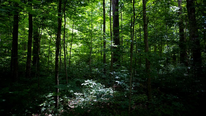 A century ago, Martha Davis willed a virgin oak forest on her property to Purdue University. The 50-acre stretch of woods known as the Herbert Davis Forest, named for Martha's son, was recognized as a National Natural Landmark in 1975. The forest, having had minimal interference from humans, is a rare example of preserved old growth dating back hundreds of years.