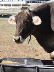 Snickerdoodle, a six-time World Dairy Expo Grand champion,