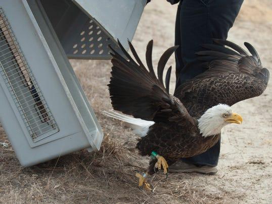 CHL 0312 eagle 01 MAIN